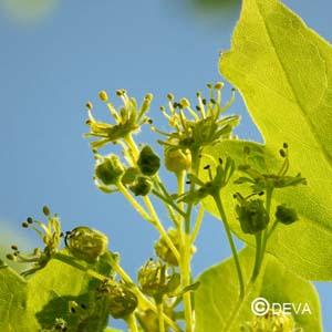 Érable Acer campestre
