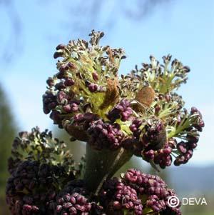 Frêne Fraxinus excelsior