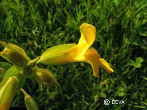 Mimulus jaune Mimulus guttatus