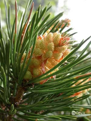 Pin sylvestre / Pine Pinus sylvestris