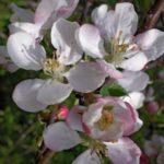 Pommier sauvage / Crab apple Malus sylvestris