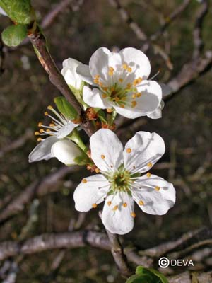 Prunus / Cherry plum Prunus cerasifera